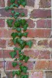 Ivy on brick 6340