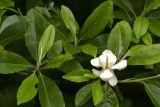 Rain magnolia 6913