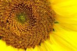 Sunflower 2749