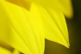 sunflower 5565