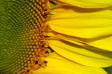 Sunflower 2768