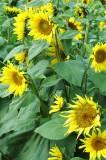 Sunflowers 2776