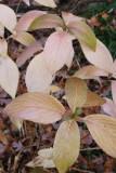 November Hydrangea  7353