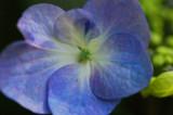 Hydrangea  9054