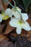 Daffodils in morning rain 4543