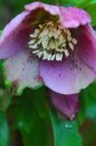 Lenten rose 4573