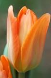30 Orange tulip 5400