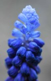 Grape hyacinth 4980