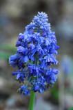 Grape hyacinth 5433.jpg