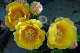 Opuntia blossoms 6684