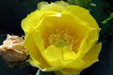 Opuntia blossom 6686