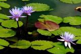 NO9021 Three water lilies