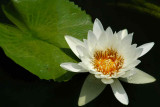 NO9025 Water lily