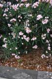 NO9588 Oleander