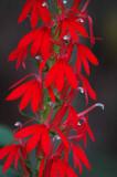 04 Cardinal flower 7530