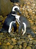 African Penguins of Kaanapali Beach.jpg