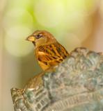 Hawaiian Sparrow in King's Crown.jpg