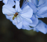 Hoverfly on Plumbago