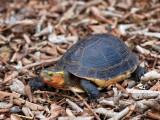 Cuora - Asian Box turtle