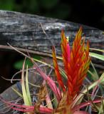 Tillandsia Plant