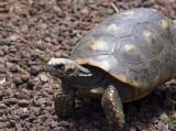 Redfoot Tortoise  - Garden Strole