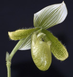 Orchid - Paphiopedilum Hybrid - Side View