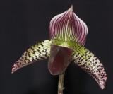 Orchid - Paphiopedilum Hybrid