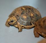 Redfoot Tortoise  Hatchling #4