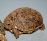 Redfoot Tortoise Hatchling #3