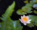 Waterlily and Frond