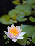 Waterlily  - Edited