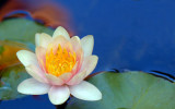 Waterlily and Reflections
