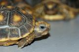 Redfoot Tortoise Babies - Week 1