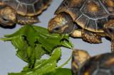 Redfoot Tortoise Hatchlings - Week 1