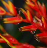 Raindrop on Bromeliad