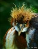 Tricolor Heron Chick