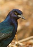 Boat-tailed Grackle (Blackbird) Portrait...