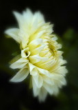 7/2/07 - White Dahlia