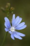 7/3/07 - Chicory