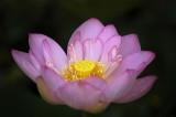 7/7/07 - Lotus #7