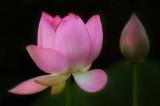7/8/07 - Lotus + Bud