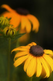 7/9/07 - Black Eyed Susans