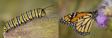 9/10/07 - Becoming a Monarch