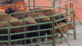 z_MG_4441 Two calves at risk for injury - Captured bison in first holding pen - Crop-2.jpg