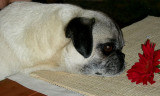 The pug is living proof that God has a sense of humor- Margot Kaufman
