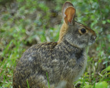 cottontail rabbit BRD2679.jpg
