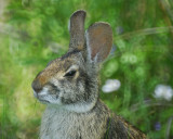 cottontail rabbit BRD3551.jpg