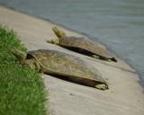 soft-shelled turtle BRD4907.jpg