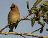 1490_pipit_kinglet_waxwing