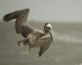1050b_brown_pelican_flight